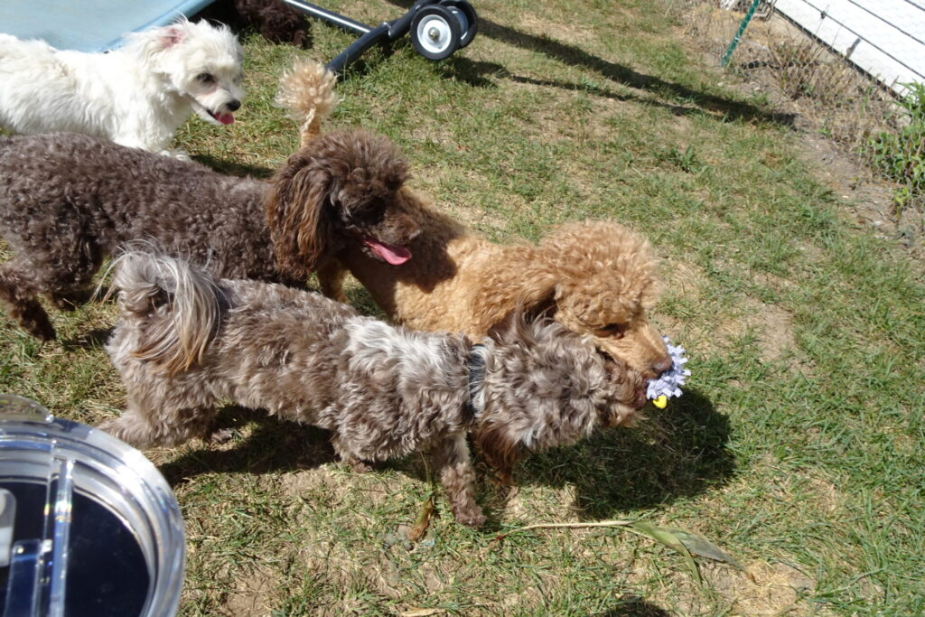 Toy Poodle Puppies for Sale in Michigan