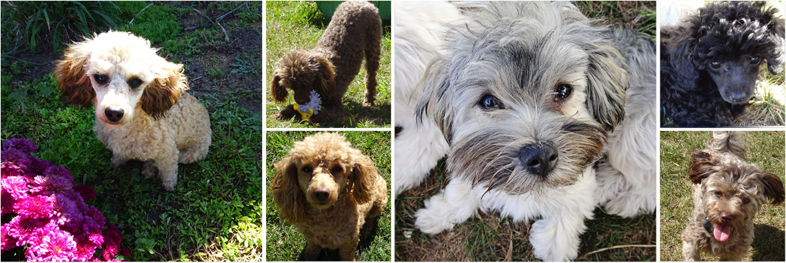Havapoo & Toy Poodle Puppies For Sale Grand Rapids, MI