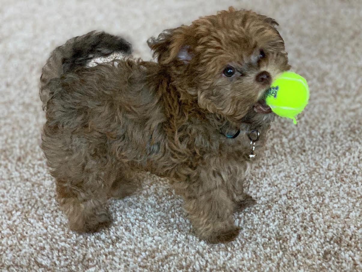 Past Havanese, Havapoo and Toy Poodle Puppies Grand Rapids
