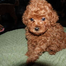 Toy Poodle Puppy Breeder in Michigan