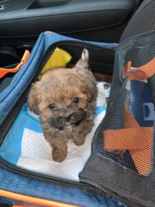 Havapoo Puppies for Sale in Michigan