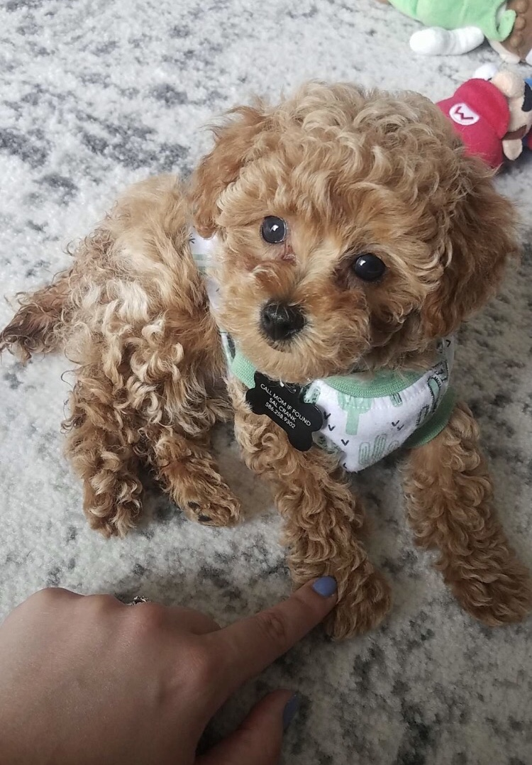 Toy Poodle Puppies for Sale Michigan