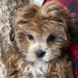 Shipoo Puppy for Sale in Michigan